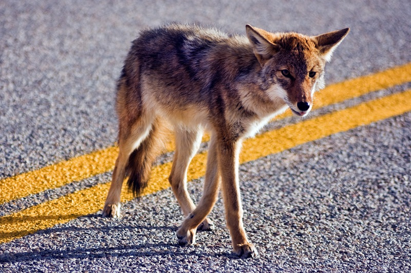 An eastern coyote crossing a roadway