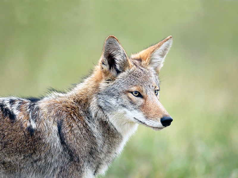 Close-up of an eastern coyote.