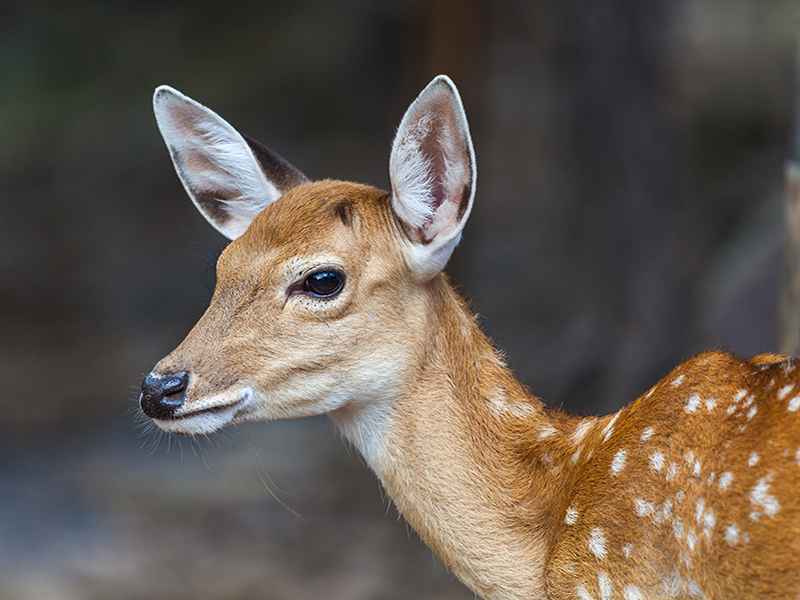This photo shows a side profile of a young deer, known as a fawn, looking directly in to the camera. The deer is very well lit and the background is blurry.