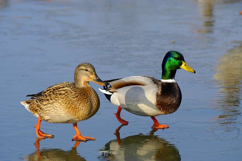 A male and female mallard.