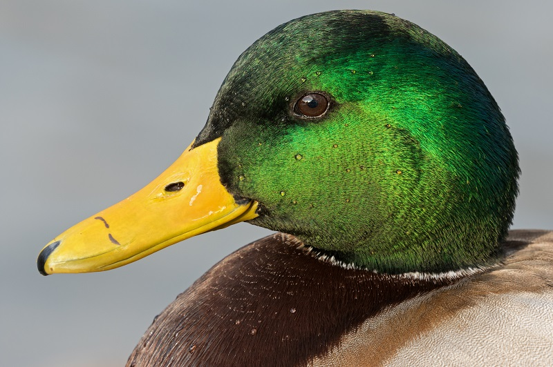 Close-up of a drake