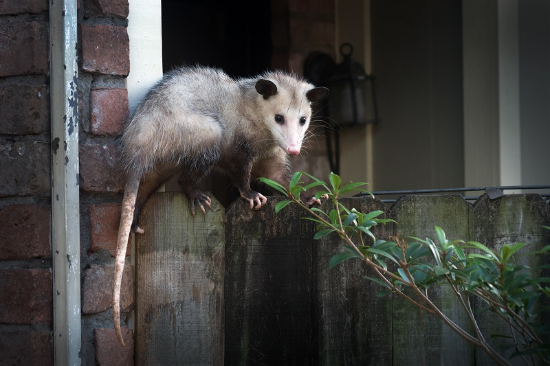 An adult opossum on a fence