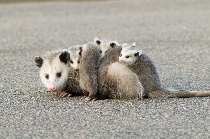 A female Virgina opossum with her joeys