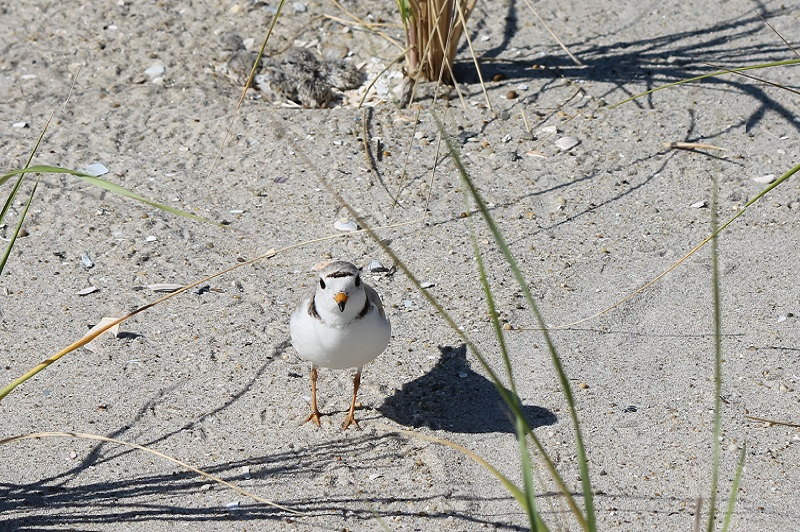 A piping plover standing in front of a nest filled with newly hatched chicks