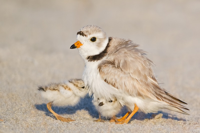 An adult piping plover with its chicks