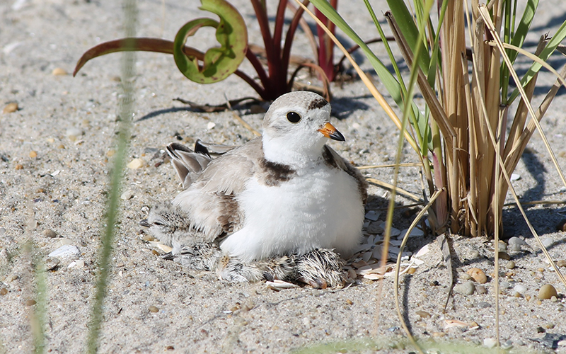 A brooding piping plover