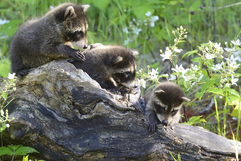 Raccoons - WildlifeNYC on retirement home, websites for iowa modular home, sheetrock installation home,