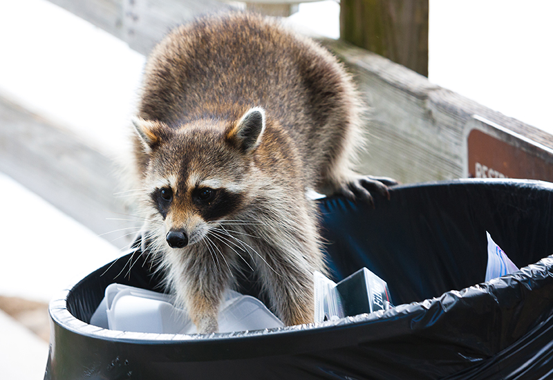 Raccoon digging in a garbage can