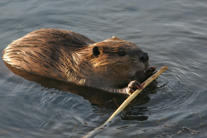beavers Beaver in Pushing Water