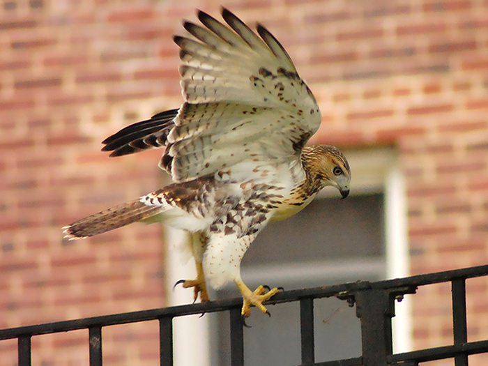 this photo shows a side profile of a red tailed hawk. The hawk is standing on a fence with its wings up and its head looking down. The hawk is pictured in front of a brick building.