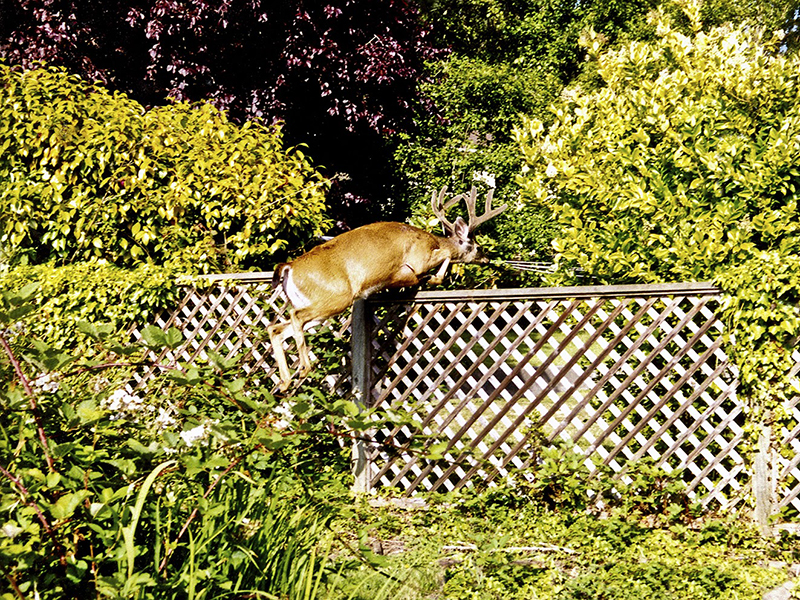 This photo shows a male deer hopping over a high wooden fence in to a yard. The area surrounding the fence is covered in plants and above the fence you can see two trees and a clothesline.