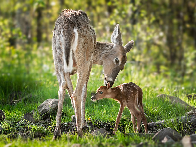 this photo shows a female deer and her fawn with a forest background behind them. The mother is smelling the fawn and the fawn is looking in to the